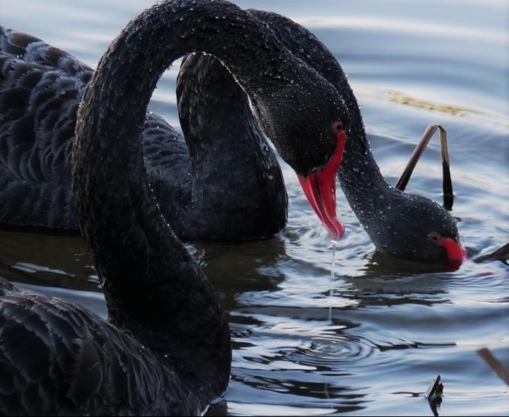swans-e1570599530994.jpg