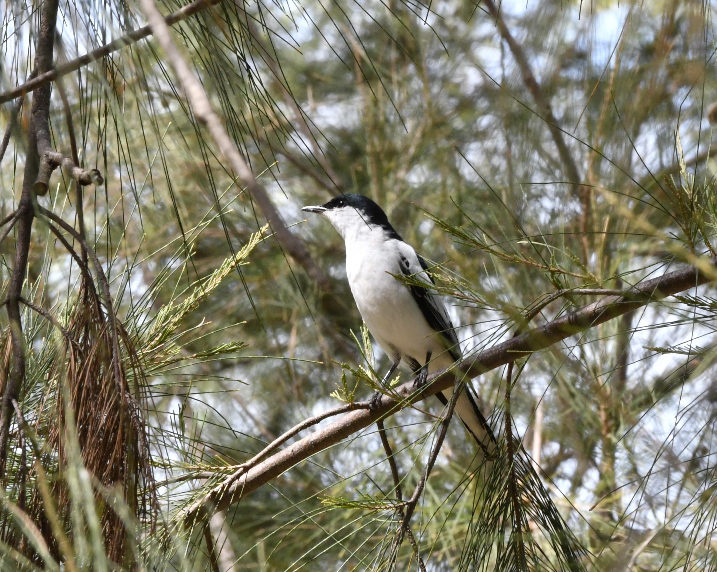 male white winged triller.jpg