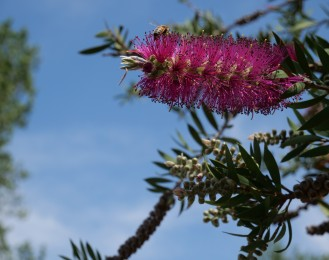 pink bottle brush