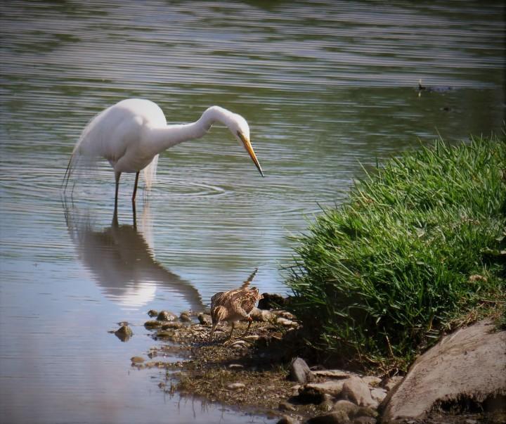 egret & snipe.jpg