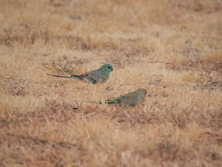 grass parrots.jpg