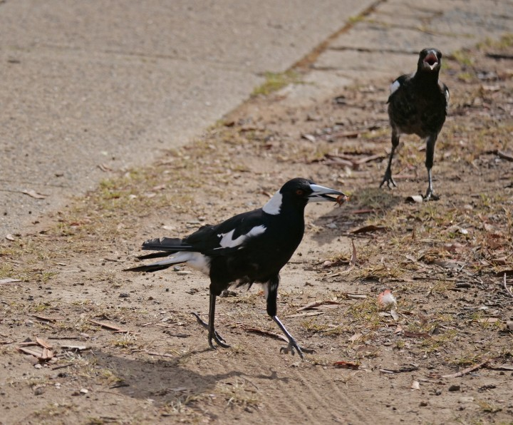 magpies on the run.jpg