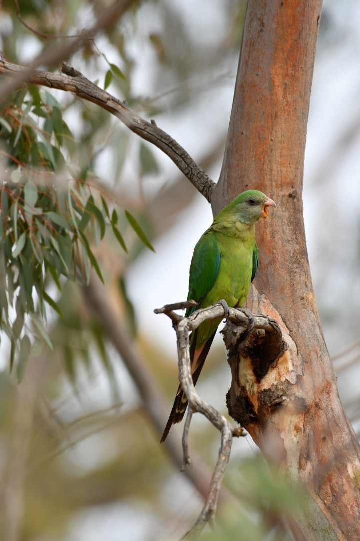 Female superb parrot