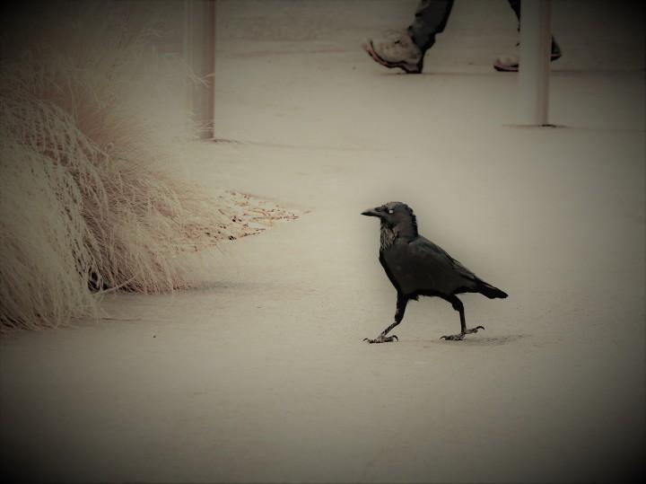 raven on a walk